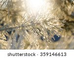 Frosty Spruce Twig During...