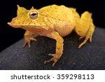 solomon island leaf frog ...