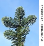 Small photo of Nobilis-fir, Abies; procera
