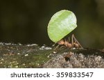 Small photo of Leafcutter ant (Acromyrmex octospinosus) carrying a piece of leaf, Pacaya Samiria National Reserve, Yanayacu River, Amazon area, Peru