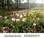 A field of spring tulips in...