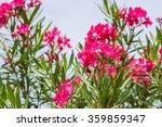 Nerium Oleander Oleander Rose...