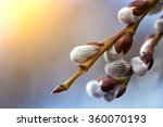 Tree Branch With Buds...