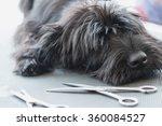 Portrait Of Cute Schnauzer Dog...