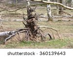 Uprooted Tree Birch