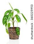 dieffenbachia in flowerpot... | Shutterstock . vector #360225953