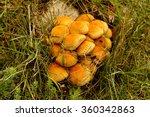 Pholiota Squarrosa Mushroom ...