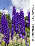 Tall Dark Blue Delphinium...