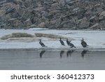 cormorants  phalacrocorax carbo ... | Shutterstock . vector #360412373