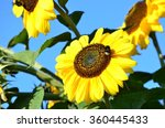 sunflowers and a bumblebee... | Shutterstock . vector #360445433