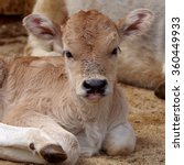 Small photo of Small calf rest, with the mother cow