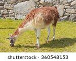 Llama    The Animal Symbol Of...