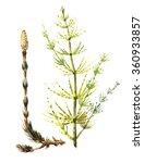 equisetum sylvaticum  horsetail ...   Shutterstock . vector #360933857