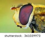 Syrphidae Hoverfly Macro