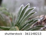 A Sword Fern Lined With Frost...