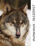 Wolf Portrait Close Up