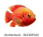 Small photo of The African jewelfish (Hemichromis bimaculatus) isolated on white background