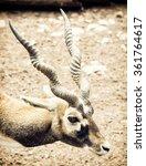 Portrait Of Blackbuck  Antilop...