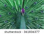 Multi Colored Peacock