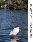 Small photo of One American white ibis and its reflection, standing in shallow water of urban park pond, with oak tree in far background
