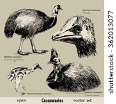 bird the cassowary. vector... | Shutterstock .eps vector #362013077