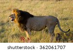 Big Male Lion Standing In The...