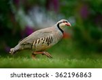 Small photo of Barbary partridge, Alectoris barbara, bird in the green grass with blurred violet flower at the background, animal in the nature habitat, Spain