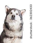 gray alaskan malamute portrait...   Shutterstock . vector #362302433