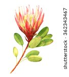 exotic flower watercolor... | Shutterstock . vector #362343467