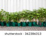 Row Of Trees In Pots