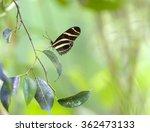 Zebra Longwing Butterfly....