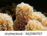 Small photo of Underwater marine life, closeup of coral polyps of Porites porites commonly called hump coral or finger coral, Caribbean sea
