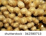 Small photo of Underwater marine life, hump coral or finger coral, Porites porites, Caribbean sea