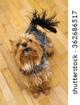 Small photo of Small Yorkshire terrier looking up and yap. focus on a head