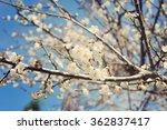 New Spring Blossom Of Peach...