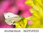 Small photo of Beautiful butterfly - Pieris canidia, photo taken in Taiwan
