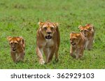 Lioness With Cubs In The...