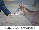 Feeding Deer In Nara Park  Japan