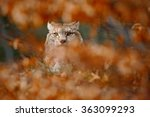 Eurasian Lynx  Portrait Of Wil...