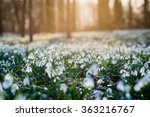 Sunlit Forest Full Of Snowdrop...