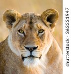 Portrait Of A Lioness. Close U...