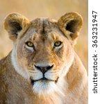 Portrait Of A Lioness. Close U...