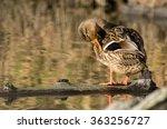 Female Mallard Duck Grooming...