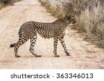 Small photo of Cheetah in Kruger national park, South Africa ; Specie Acinonyx jubatus family of felidae