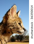 Serval Kitten Profile