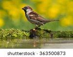 Birds   House Sparrow  Passer...