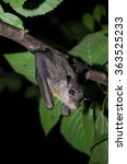 Постер, плакат: common dawn bat is