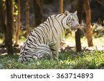 the white tiger resting and... | Shutterstock . vector #363714893