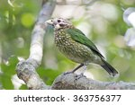 Small photo of Spotted Catbird (Ailuroedus melanotis)