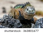 Smiling Iguana. The Marine...